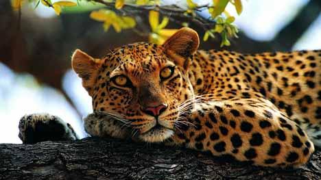 ЮАР леопард