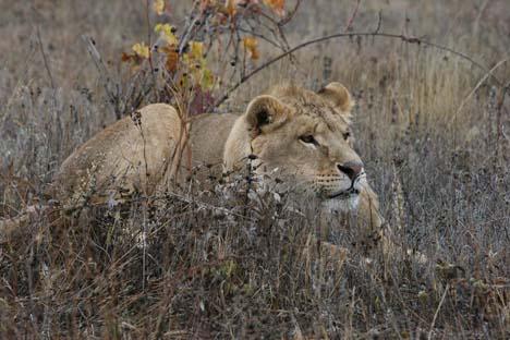 фото парк львов тайган